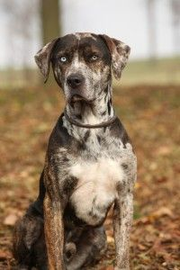 The Catahoula Leopard Dog is driven and has a strong work ethic. Although the Catahoula Leopard Dog loves his family, he can be a dominant and willful dog. Big Dog Breeds, Akc Breeds, Hound Dog Breeds, Big Dogs, Dogs And Puppies, Doggies, Corgi Puppies, Catahoula Cur, Leopard Dog Catahoula