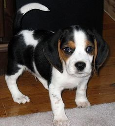 Beagle Hound Dog...every southerner needs one of these.