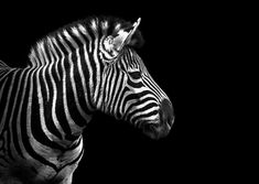 Zebra for scratchboard