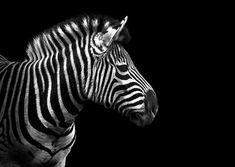 Zebra for scratchboard
