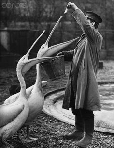 Feeding the Pelicans at London Zoo, 1943. The shortages that the war caused meant the fish had to be rationed strictly.