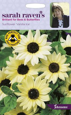 This pretty, smaller than usual sunflower is hugely prolific and long-flowering and is loved by butterflies and bees. I use the creamy white flowers for endless hand-tied bunches and flower arrangements.   eBay!