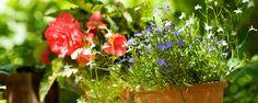 Cuidados com as plantas no verão - O verão chegou, os dias estão mais quentes e abafados, e assim como nós as plantinhas também precisam de cuidados especiais nesta estação! Então vamos às dicas para manter nossas plantinhas vistosas neste verão...  Para que a rega seja melhor aproveitada pelas plantas, regue o jardim no início... - http://www.ecoadubo.blog.br/ecoblog/2014/12/23/cuidados-com-as-plantas-no-verao/