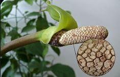 Zamioculcas: pianta e sua cura - Idee Green Bonsai, Beans, Fruit, Vegetables, Gardening, Tips, Bonsai Trees, Bonsai Plants, Beans Recipes