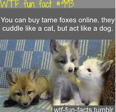 Found my future pet, HAHAHAHA suckers<<< PERFECT now I just have to convince my mom.  Me: Can I have a fox Mom: no Me: Why not they're adorable and these ones are tame Mom: because I said so Basically how that conversations going to go