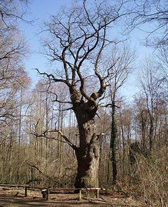 """In Berlin Reinickendorf there is the oldest tree """"Die dicke Marie"""" (The big Mary) in Berlin which is supposed to be older than the city itself. The legend says that the tree is 900 years old and that the brothers Alexander and Wilhelm von Humboldt named it after their cook."""