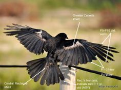 crow outer primary feathers