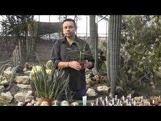 Aloe - drei Tipps zur Pflege - YouTube