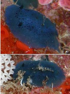 The Sea Slug Forum - Doriopsis pecten