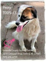 URG'T NORTH CAROLINA -- pinned 8/14 ~~ SHELTER FAVORITE ~~ Penny is an #adoptable Australian Shepherd Border Collie Blend Dog in Oxford, NC. Penny has been a hit with the shelter volunteers, and she's definitely a 'People Person!'   A sharp girl, she responds to commands such as,...Granville County Animal Shelter, Oxford, NC  919-693-6749