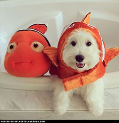 Omigosh, this is so cute. Oliver the adorable 1-year-old Westie found Nemo! @mozartborba and #oliverthewestie for more cute dogs and puppies.