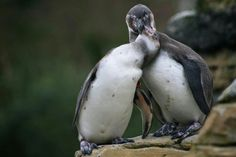 Penquins Sneaking A Peck.