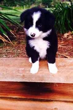 Pure bred Border Collie pups for sale, unregestered pedigree.  All five pups are male! Born on the 12.01.2015. They have had their first vaccinations (general C4) and have all been microchipped and wormed also. Vet checked and ready to go to their new homes - http://www.pups4sale.com.au/dog-breed/400/Border-Collie.html