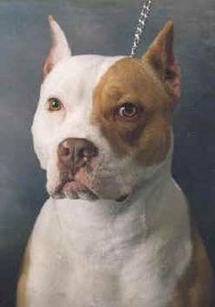 Handsome pitbull