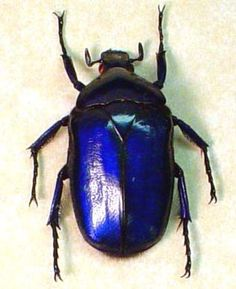 Sapphire Jewel Beetle  Torynorrhina Flammea violets