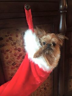 Brussels Griffon - Lord Pootie Tinkleton! A little stocking stuffer!
