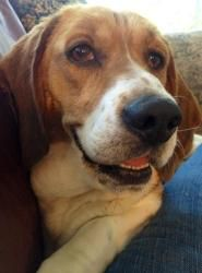 Gigi is an adoptable Basset Hound Dog in Newaygo, MI. MEET Gigi - this loveable and adorable gal is 3 years old and a Basset/Beagle mix. She had an eye condition called 'cherry eye' and Lake Haven got...