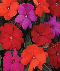 Impatiens, (New Guinea) Hot Divine Mix Hybrid.Vivid flowers of reds, violet and orange brighten shade gardens.