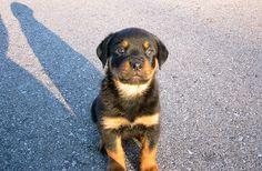 rottweiler dog names - 1200×630