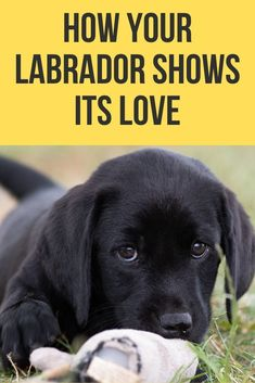 If you're wondering whether or not your Labrador loves you, this post will show you a number of ways you can tell and what you can do to get it to love you more. So, does my Labrador love me? Black Lab Puppies, Dogs And Puppies, I Love Dogs, Cute Dogs, Black Labrador Retriever, Chocolate Labrador Retriever, Labrador Retrievers, English Labrador, Black Labs