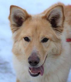 Golden Retriever Mix, Corgi, Puppies, Cute, Animals, Animales, Puppys, Animaux, Kawaii