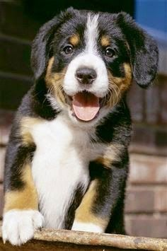 Cute Top  Entlebucher Mountain Dog