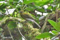 Snowornis subalaris/Grey‐tailed Piha/ハイオムジカザリドリ