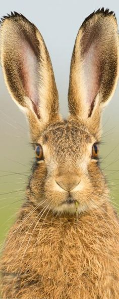 Superb Nature - Brown Hare - Mug Shot by rayleinster. Jack Rabbit, Rabbit Art, Bunny Art, Cute Bunny, Beautiful Creatures, Animals Beautiful, Hare Pictures, Animals And Pets, Cute Animals