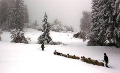 Agricultores da Bavária pastoreiam ovelhas em neve profunda entre Garmisch-Partenkirchen e Mittenwald; escolas da região foram fechadas devido à queda de neve pesada durante a noite.