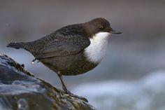 white throated dipper by Thomas  Jensen on 500px