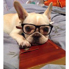 'The Bookworm', Nerdy French Bulldog Puppy. #buldog