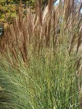 Miscanthus Red Arrow