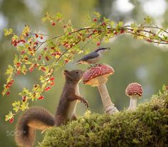 squirrel looking at nuthatch on mushroom / adorables funny graciosos hermosos salvajes tatuajes animales Forest Animals, Nature Animals, Animals And Pets, Funny Animals, Cute Animals, Beautiful Creatures, Animals Beautiful, Squirrel Appreciation Day, Cute Squirrel