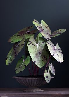 """DIY Mojito """"Elephant Ears"""" Plant made with paper! Planting Succulents, Garden Plants, Indoor Plants, Planting Flowers, Mini Plantas, Plantas Indoor, Elephant Ear Plant, Elephant Ears, Mojito"""