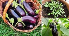 Black beauty eggplants from Ma'o Organic Farms. Growing Vegetables, Growing Plants, Container Gardening, Gardening Tips, Organic Farming, Garden Projects, Eggplant, Health And Wellness, Followers