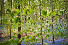 Forêt enchantée  #nature #mothernature #sun #light #beauty #boisdehalle #bois #jacinthe #bruxelles #brussels #bruxellesmabelle #bxl #bx #bxlove #bybrussels #bruxellestagram #bruxellesjetaime #bxl_online #visitbrussels #igbrussels #bxlcult #belgique #belgium #welovebrussels #brusselslove #bloom #floral #magic #bleu