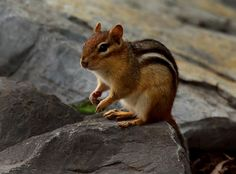 Chipmunk by Ashley Hockenberry on 500px