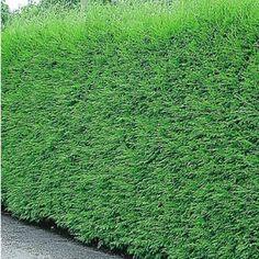 Leyland-Zypressen-Hecke,1 Pflanze