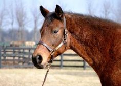 Daisy is an adoptable Thoroughbred Horse in Nicholasville, KY. Daisy is a 16yr old Thoroughbred mare, and another of our new girls. Visit our website www.KYehc.org for more information....