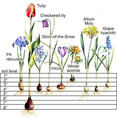 Planting Charts for Spring-Flowering Bulbs - This handy chart takes the guesswork out of planting bulbs.