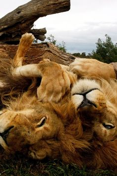 The Playful Lion