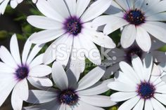 Daisy Flowers in Sunlight (Bornholmer Marguerite) Royalty Free Stock Photo Floral Backgrounds, Daisy Flowers, Closer To Nature, Annual Plants, Image Now, Sunlight, Royalty Free Stock Photos, Pastel, Beautiful