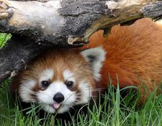 Red Panda @ Calgary Zoo, AB Canada by どこでもいっしょ, via Flickr