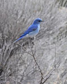 blue bird - Google Search