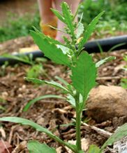 Epazote has strong pungent flavor with dominant petroleum and mint smell. Its leaves, fresh or dried, and young shoots used as seasoning the dishes in Mexican, Chilean and other South American region.    To prepare, wash the leaves in cold water as in other greens and herbs. Just few leaves or 1-2 sprigs enough to scent the food. It is particularly added in the black bean recipes to improve digestion.