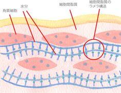 角質層での保湿のメカニズム(実際は角質細胞間脂質の部分は全てラメラ構造です)