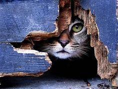 Кошка, забор, прячется, смотрит обои, картинки, фото