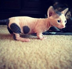 The Dwelf cat is a new cat breed. This cat includes the bald attribute of the Sphynx cat, the small thighs of the Munchkin kitten along with the curled ears of the American Curl. The result is a really unique-looking pet. Sphynx Gato, Hairless Kitten, Hairless Animals, Animals And Pets, Baby Animals, Funny Animals, Cute Animals, Pretty Cats, Beautiful Cats