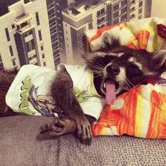 10 фотодоказательств, что еноты самые мимишные животные - новости LifeStyle | LifeStyle Обозреватель 2 июля