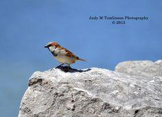 Pretty little Sparrow Judy M Tomlinson Photography